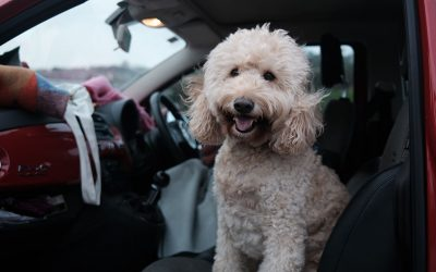 Is Car Travel Torture or Adventure for Your Animal? Home Physio Available!