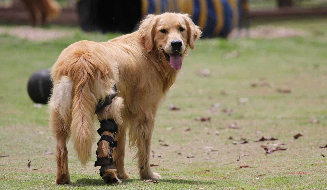 Does My Dog Have a Ruptured Cruciate?
